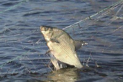 Чернігівський рибоохоронний патруль за тиждень вилучив 66 кг незаконно добутої риби та 41 од. заборонених знарядь лову